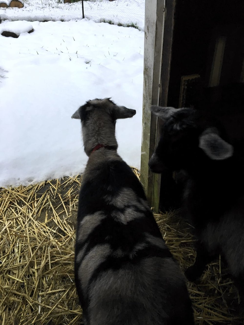 Our goats in their stall seeing snow for the first time.