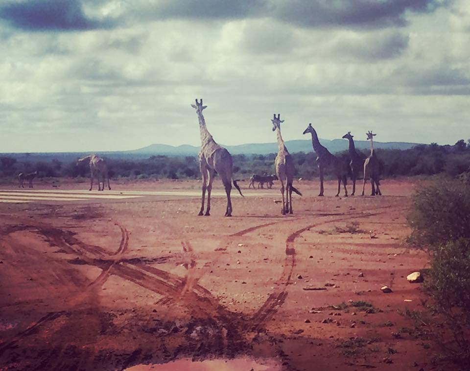 Giraffe blocking the airstrip