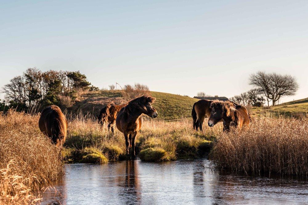 De vilde heste laver hul i isen for at drikke vand. Husets tag kan ses i baggrunden.