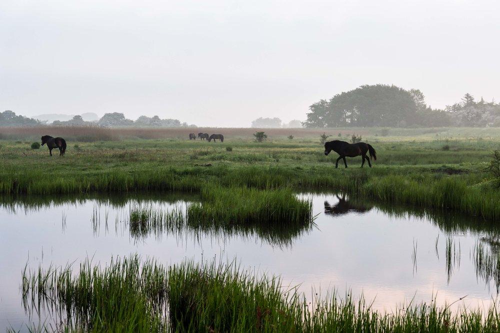 Vilde heste i Klise Nor - Maj 2017.