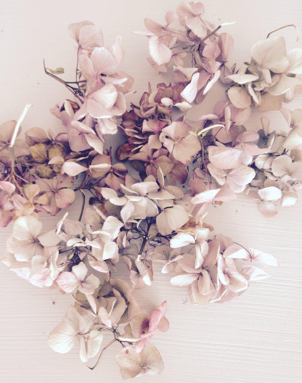 Dried Hydrangea clusters
