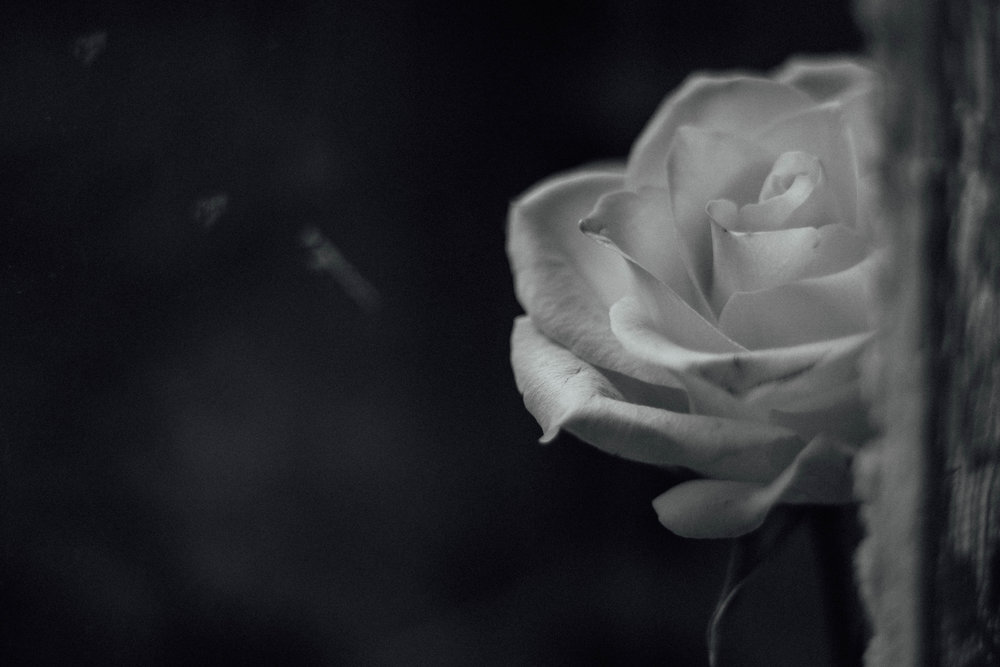 black and white rose.jpg