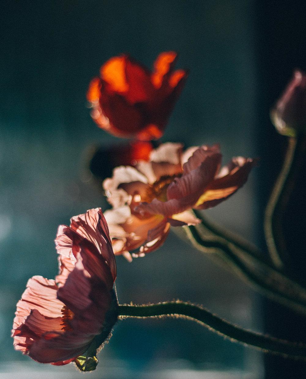 group poppies.jpg