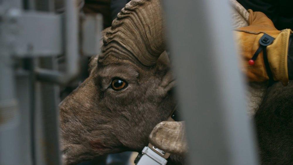 Yeti Presents: Return of the Desert Bighorn   Prod. Fin & Fur Films