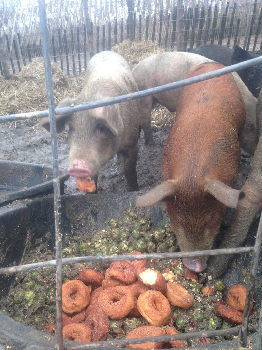 pigs 3.jpg