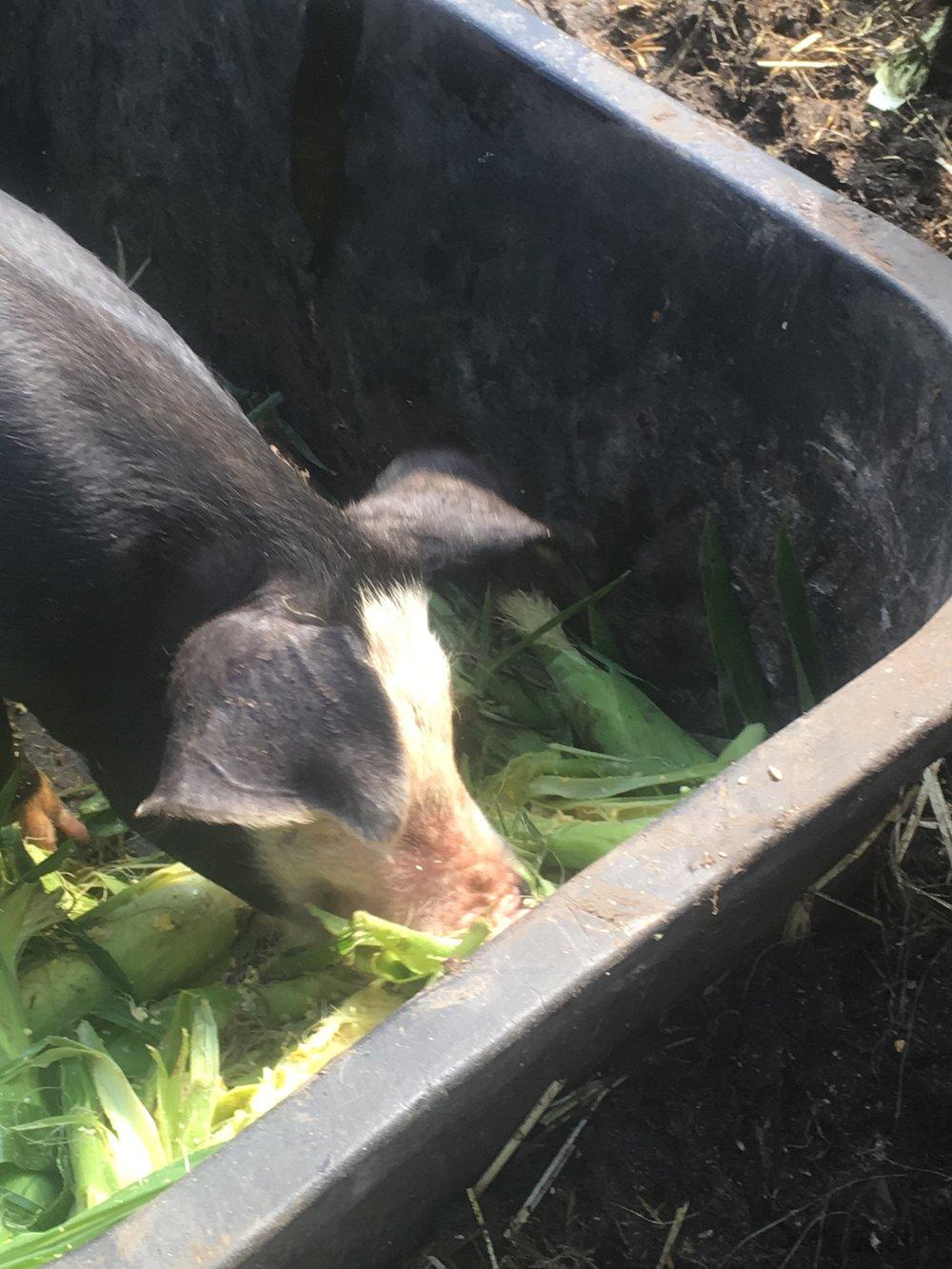pigs 4.jpg