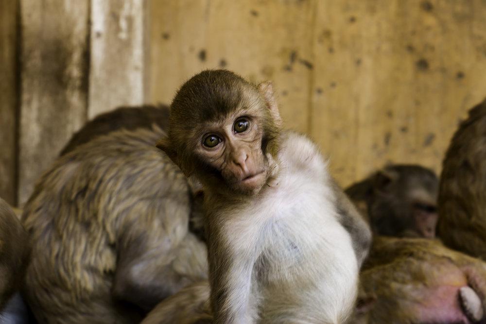 Monkey Temple Baby Monkey.jpg