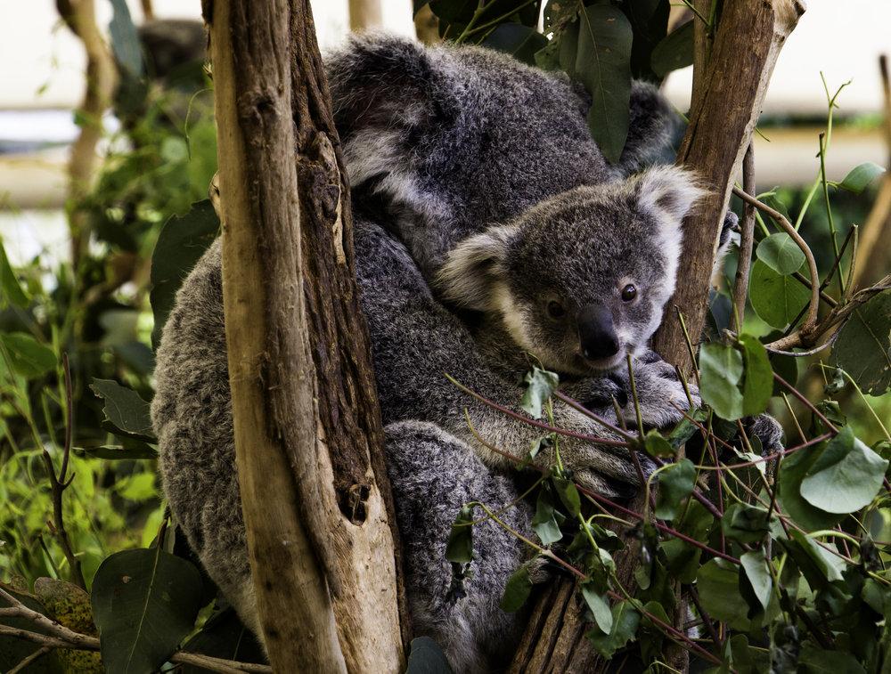 Koala Joey Face.jpg