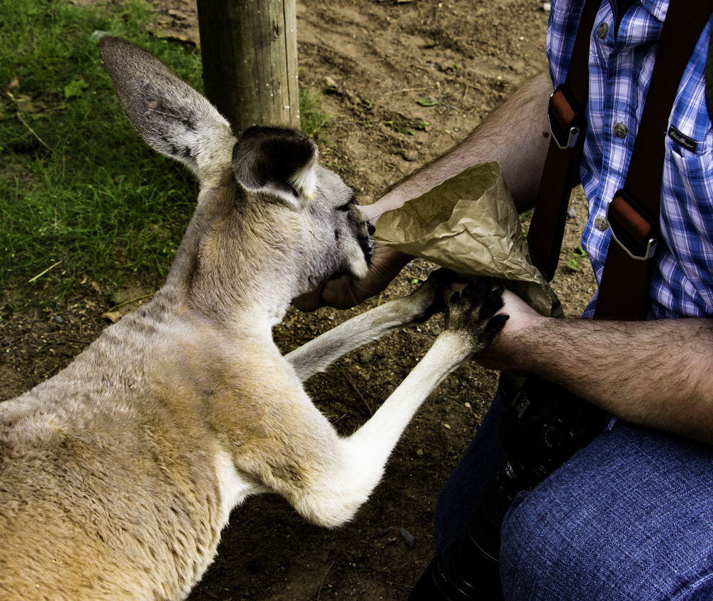 Feeding a Roo at Lone Pine