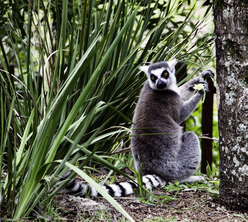 A lemur stealing a flower snack