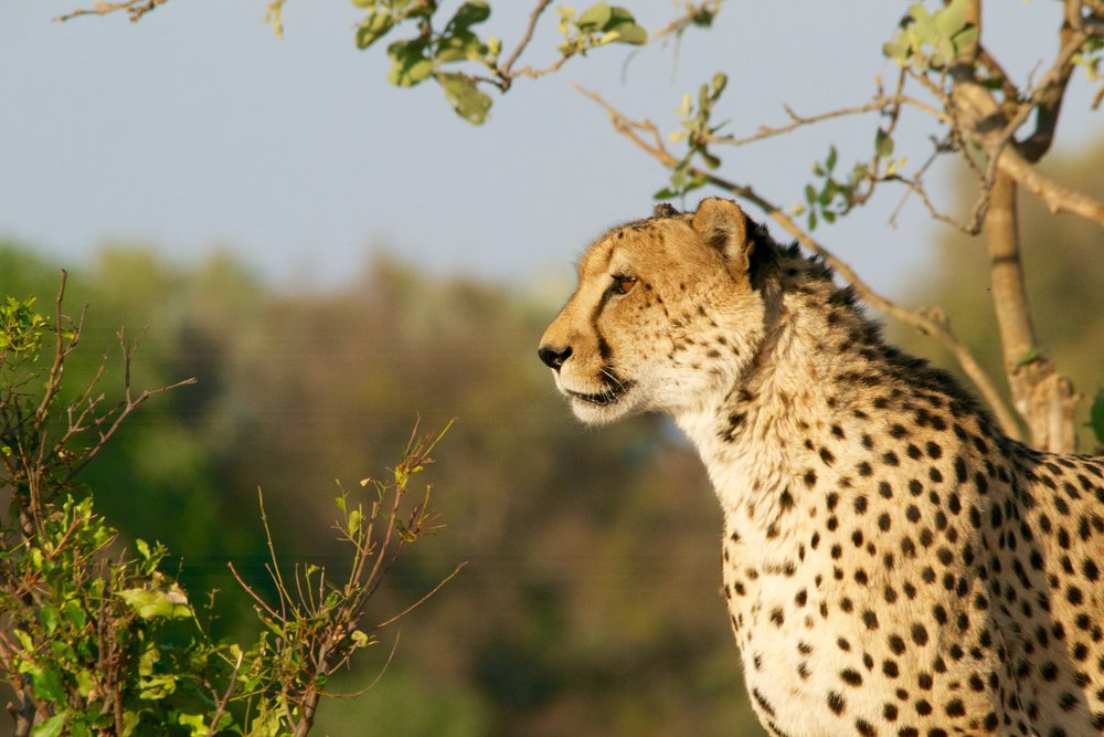 Botswana Cheetah - Photo Credit: Andy Brunner