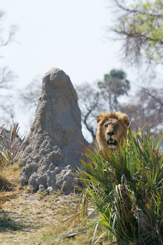 Botswana Lion - Photo Credit: Andy Brunner