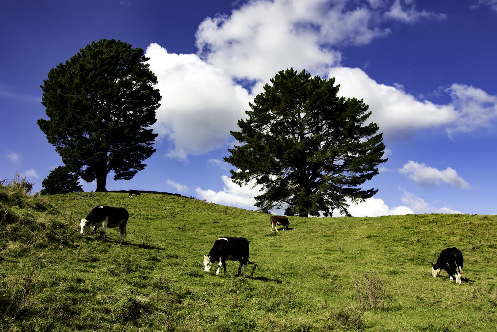 NZ Cows.jpg