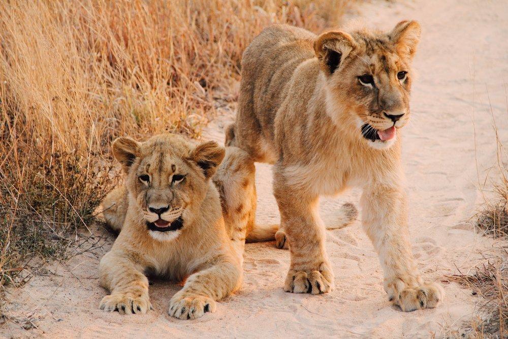 Zimbabwe Lion Cubs - Photo by: Christine Donaldson