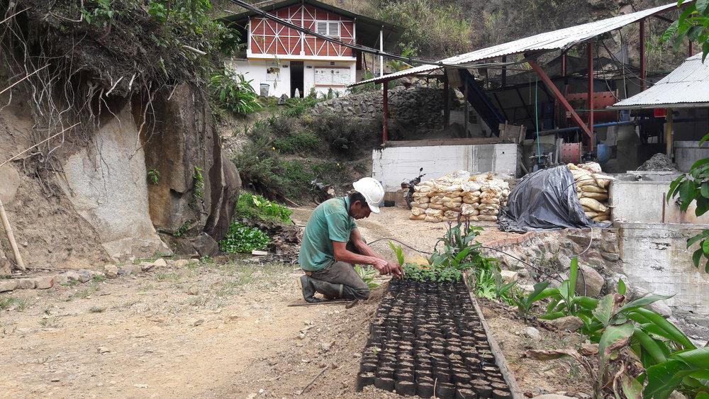 Minero de La Fortaleza vela por las plantas recién germinadas para el proyecto de remediación. Foto: Rolberto Álvarez, 2018.