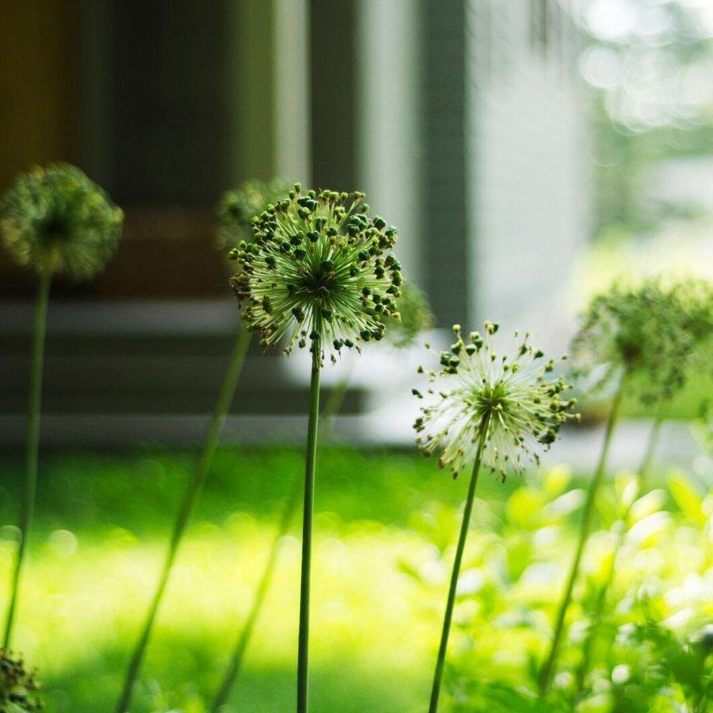 Allium-Seed.jpeg