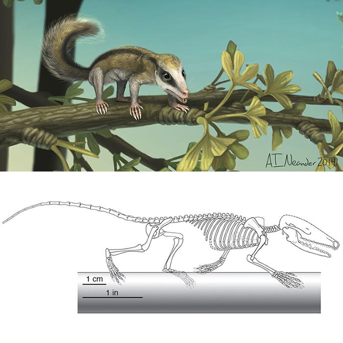 Agilodocodon