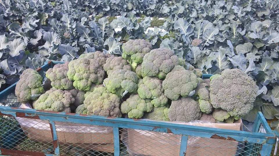 Broccoli from the farm.