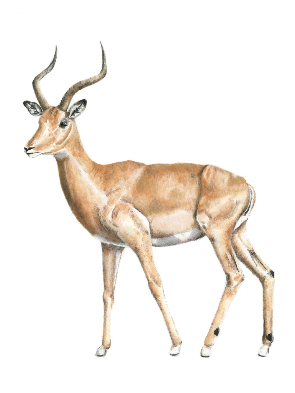 """6'4"""" Impala"""
