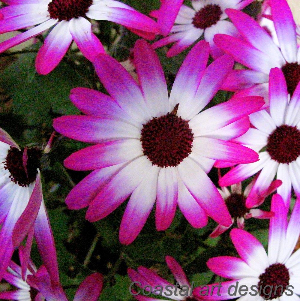 anemone-purple-and-white-flower.JPG