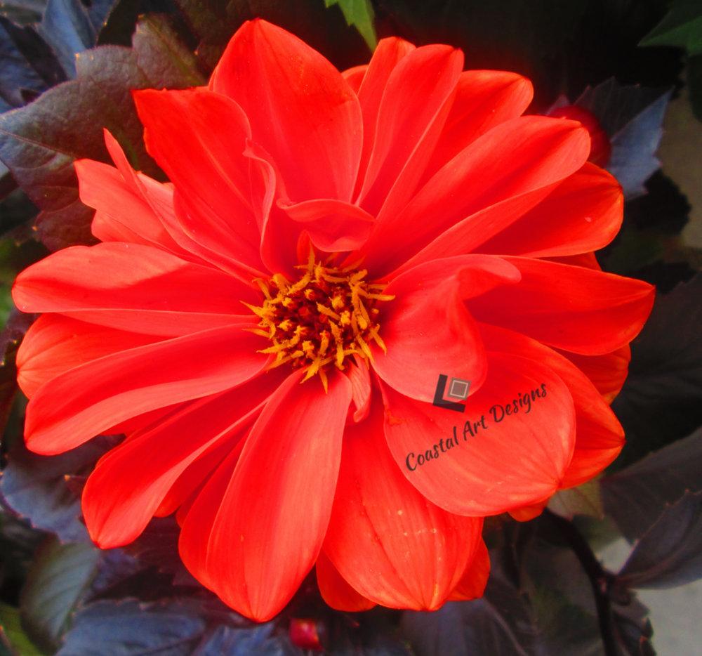 blooms-orange-red-flower.jpg