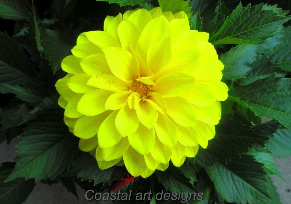 Dahila-yellow-bulb.JPG