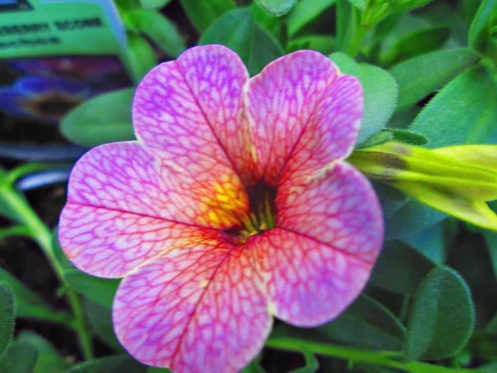 pinl-spotted-flower.jpg