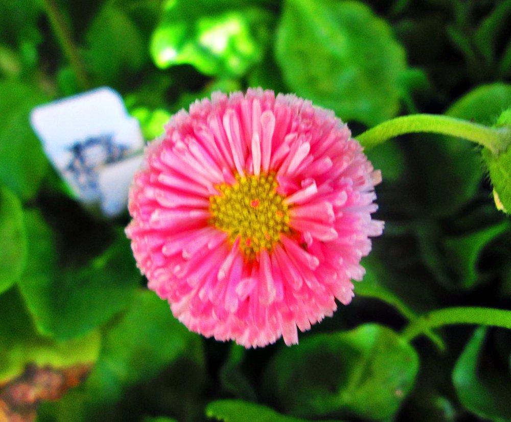 pink-fuzzy-flower.jpg
