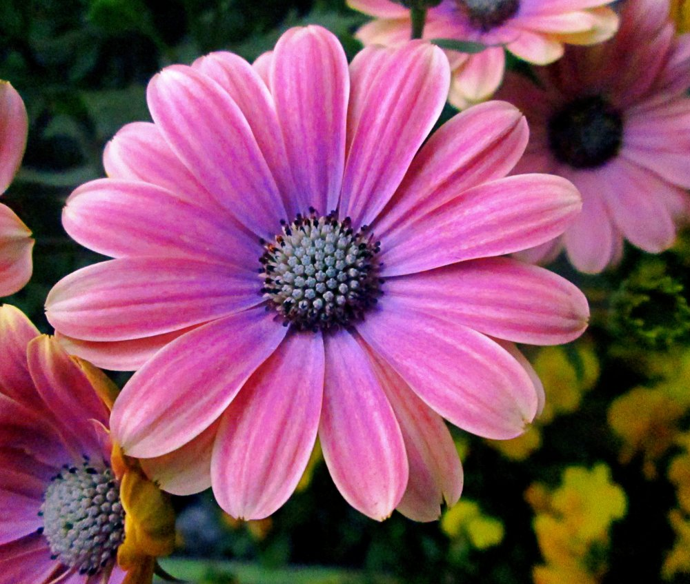 pink-flower-with-yellow-middle.jpg