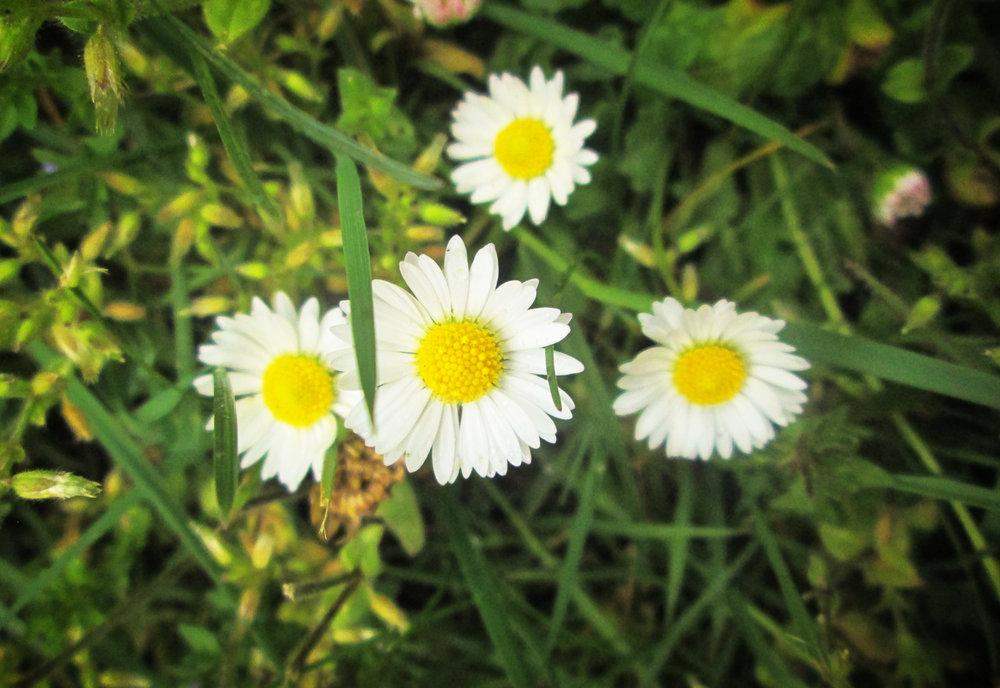little-daisy-flowers.jpg