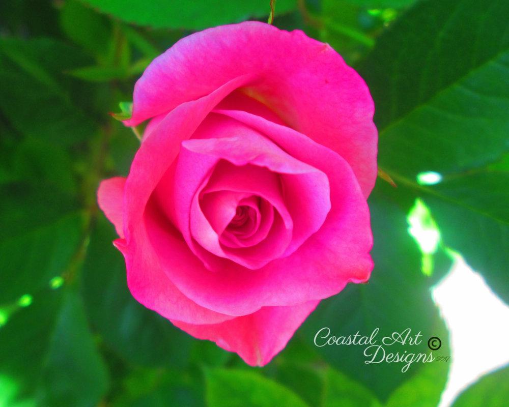 flower-rose-8x10-rose-min2.jpg