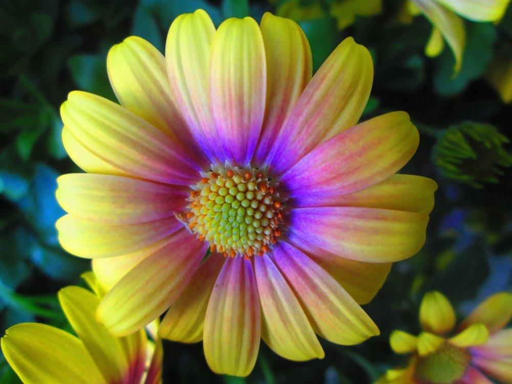 mutli-color-daisy-min.jpg