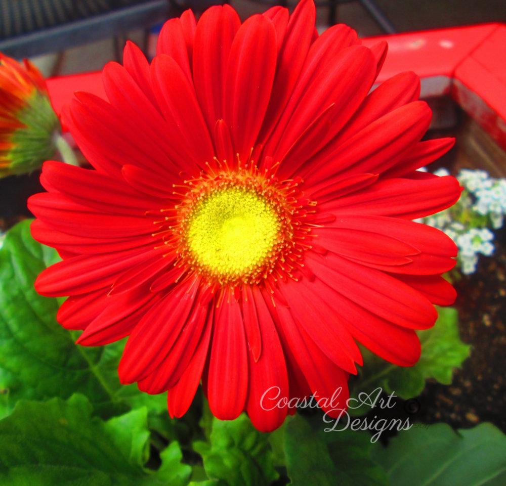 red-yellow-daisy-flowet.jpg