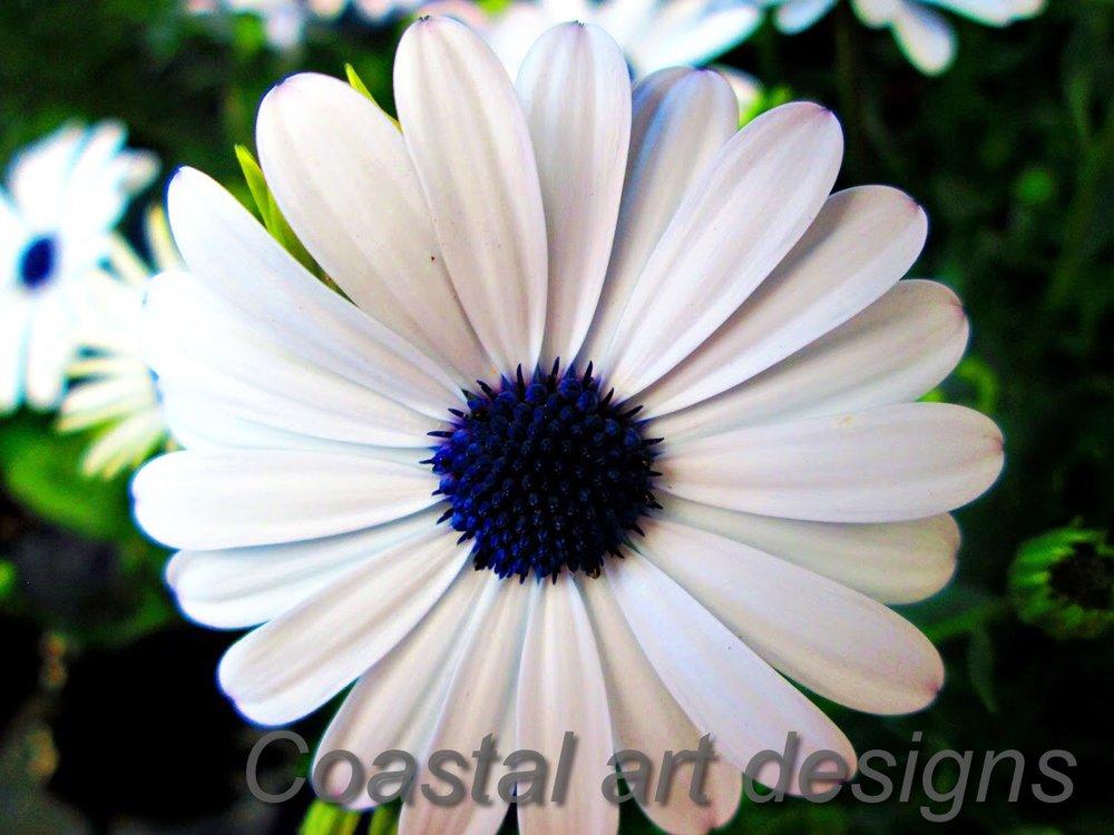white-and-purple-center-daisy-flower.JPG