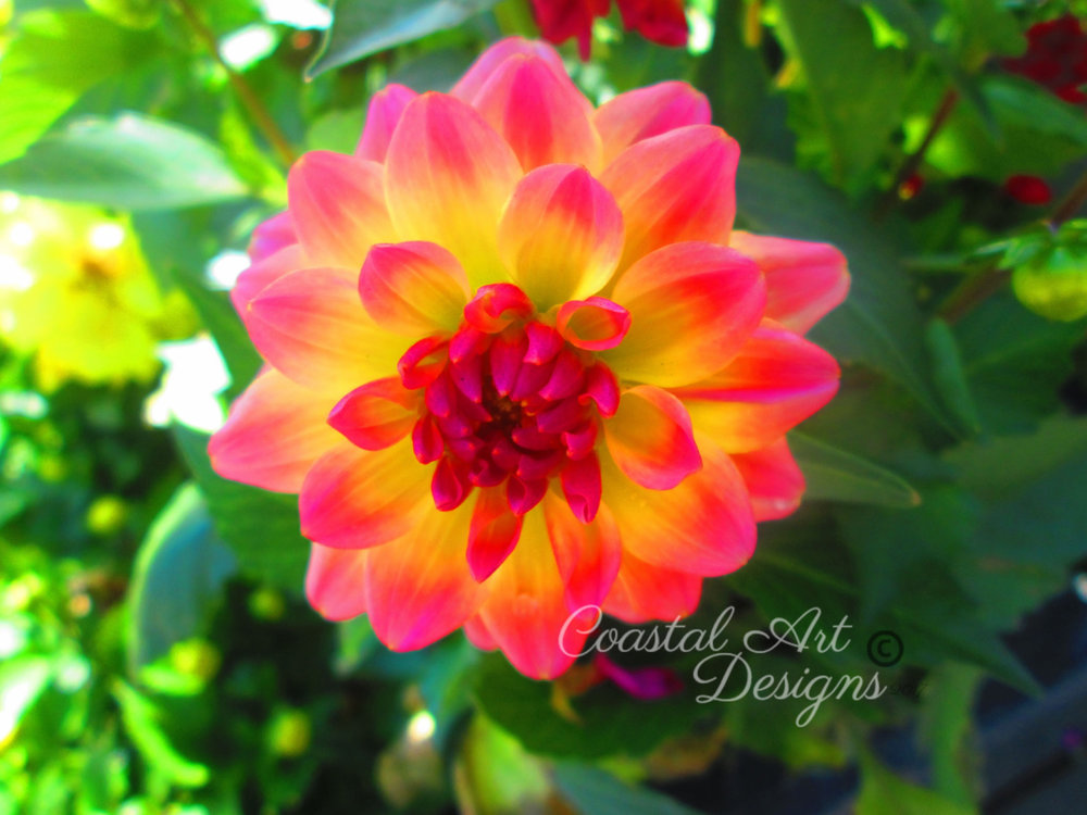 Yellow-and-bright-pink-color-at-ends-petals-dahila-flower.jpg