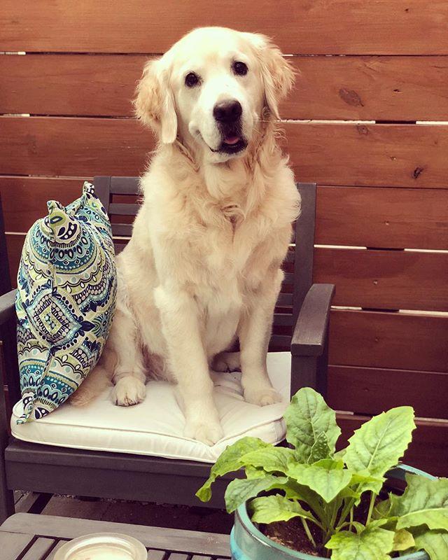 Restless summer evenings with #patiolion #restlesslion . . . #goldenretriever #goldenpupsquadfeature #goldenpuppy #gloriousgoldens #ilovegolden_retrievers #goldenretrieversofinstagram #goldenretrieverpuppy #cutepuppy #cutedogs #cutedog #dogsofinstagram #dogsofig #dogsofinstaworld #nolapets #nola #topdogphoto #retriever #puppy
