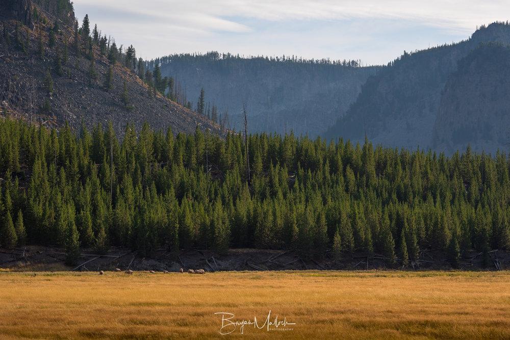 Elk in Madison Valley