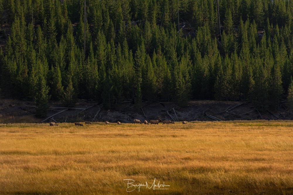 Elk grazing in Madison Valley