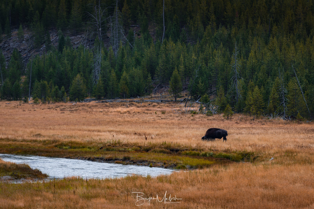 A bison grazes along the Gibbon River