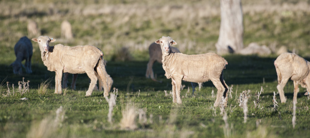 Merino sheep feeding on 5 Willows