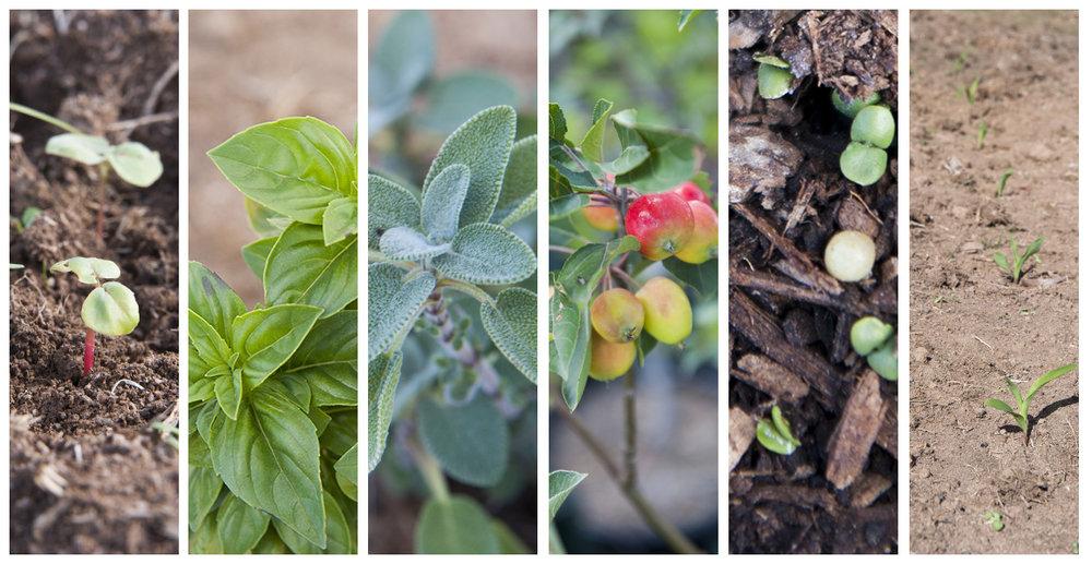 Early plantings: buckwheat, basil, sage, crab apples, seedlings, corn