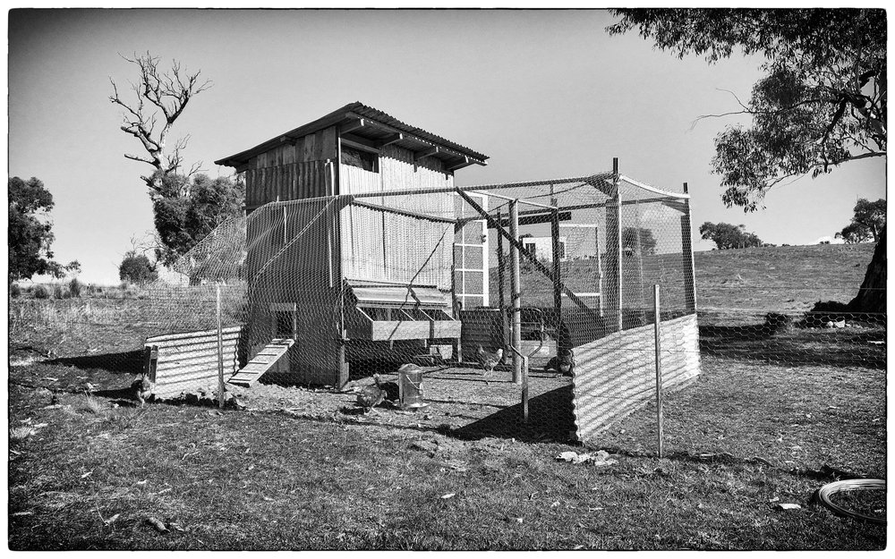 The chook shed and enclosed run in use and looking great