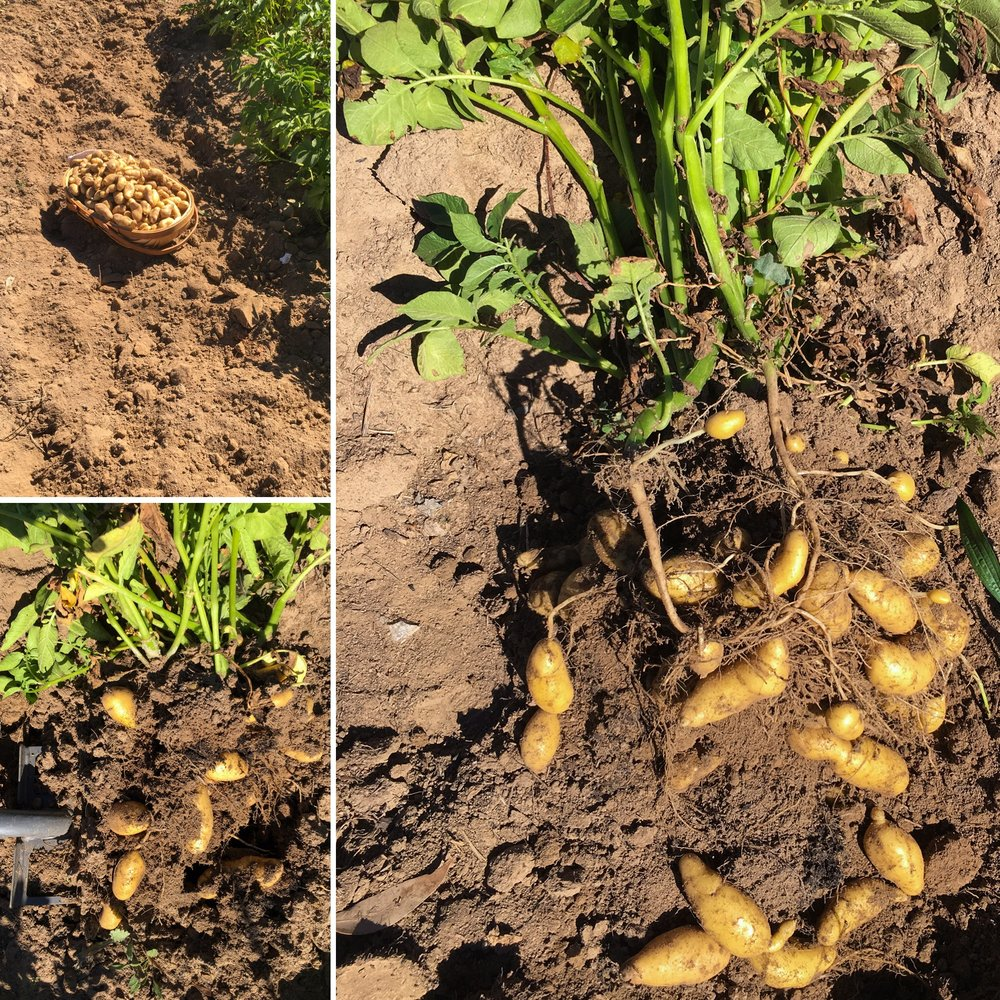 Digging up a row of Kipfler potatoes