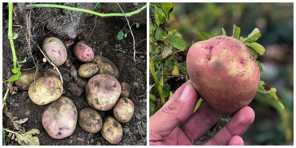 King Edward Potatoes -RUNNING LOW - King Edward potatoes - $5 per KG available directly from us.Please GET IN TOUCH to place your order.Our 2018 crop sold out. Our 2019 harvest commenced in March 2019. Potatoes are raised on order. King Edward potatoes are often large enough for jacket potato cooking, and are also great for roasting and chipping.