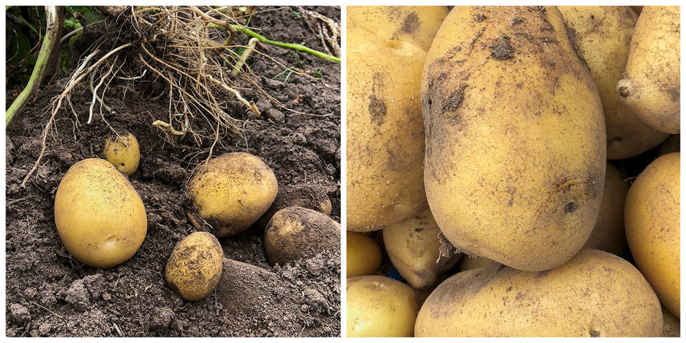 Nicola Potatoes -RUNNING LOW - Nicola potatoes - $5 per KG available directly from usPlease GET IN TOUCH to place your order.Our 2018 crop sold out. Our 2019 harvest commenced in March 2019. Potatoes are raised on order. Nicola potatoes are a great all-rounder potato, and make a great mash.