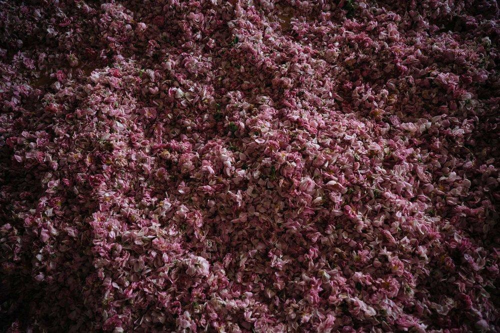 rose00001.jpg