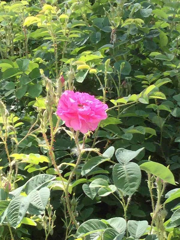 yana-rose-yana-roses-and-field-3.jpg