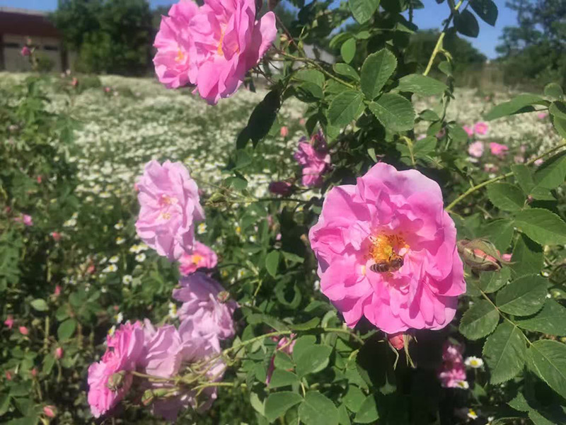yana-rose-yana-roses-and-field-4.jpg