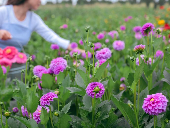 boston-dahlia-zinnia-pick-your-own-flower-farm.jpg