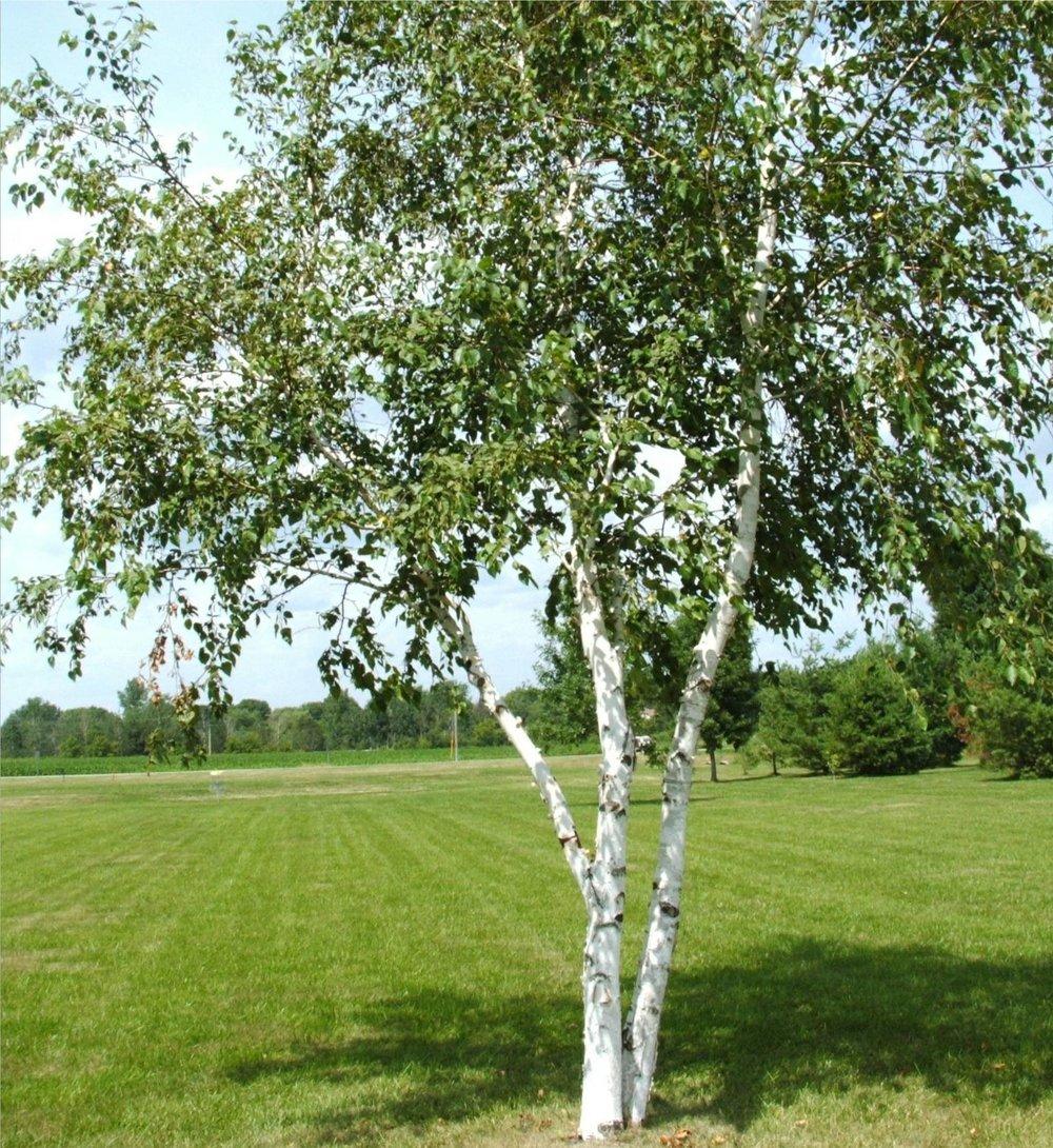 Betula-alleghenenis-White-birch.jpg